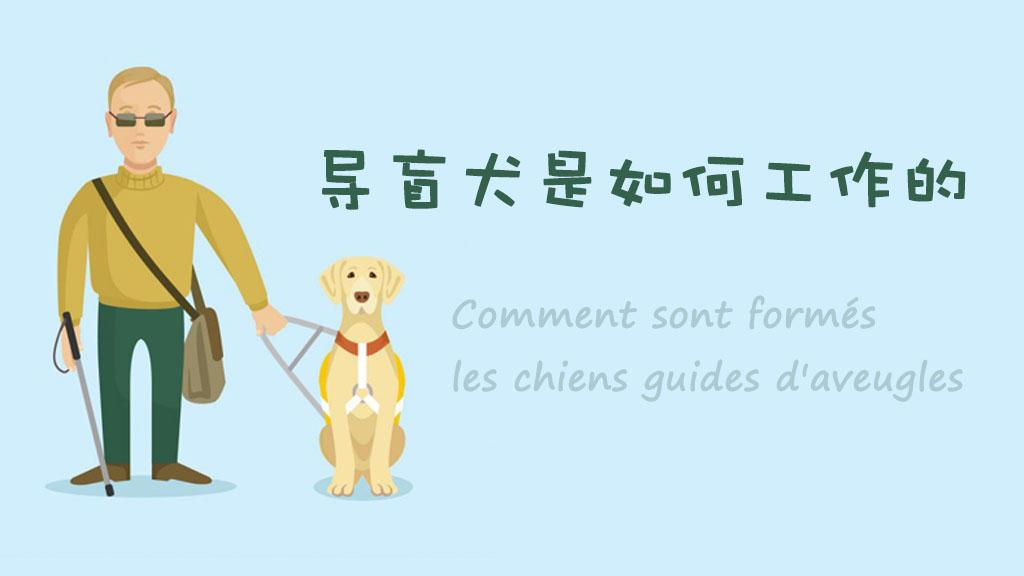 國際導盲犬日:比大熊貓還稀少的導盲犬是如何工作的?