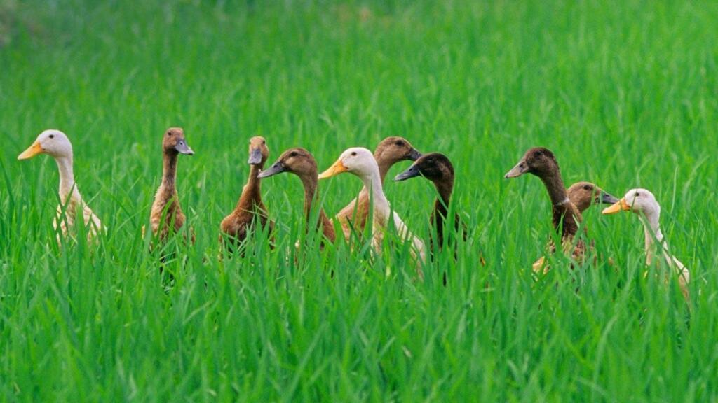 日本农民用鸭子替代杀虫剂?萌萌哒鸭鸭居然这么有用?