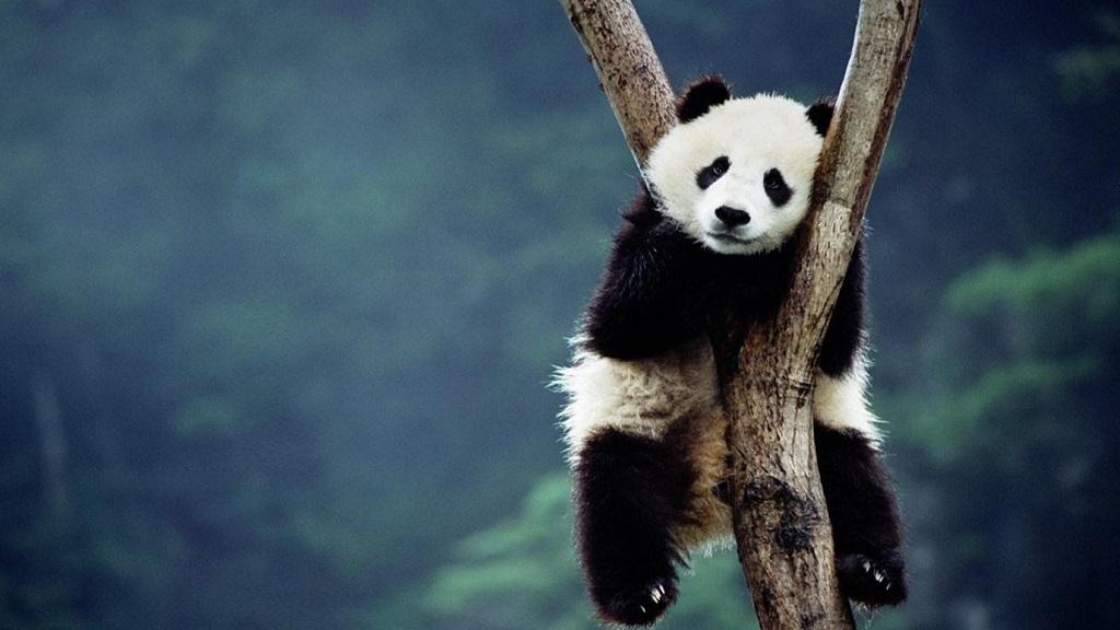大熊猫这么可爱,你不想了解一下吗?🐼