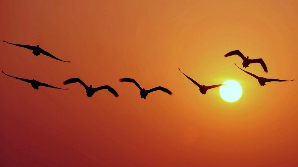 法語每日一問:為什么鳥類要遷徙?
